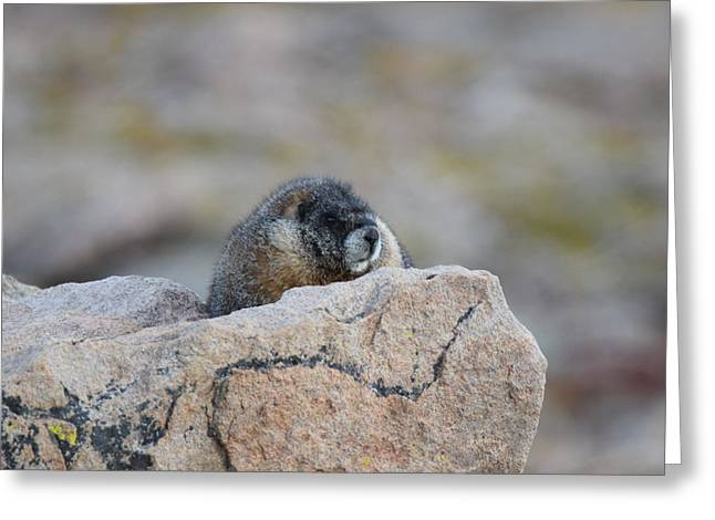 Greeting Card featuring the photograph Marmot Mnt Evans Evergreen Co by Margarethe Binkley