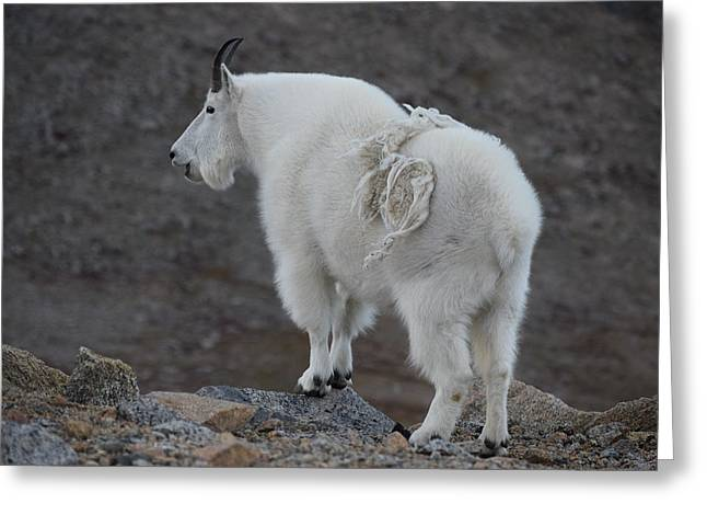 Greeting Card featuring the photograph Mountain Goat Mnt Evans Co  by Margarethe Binkley