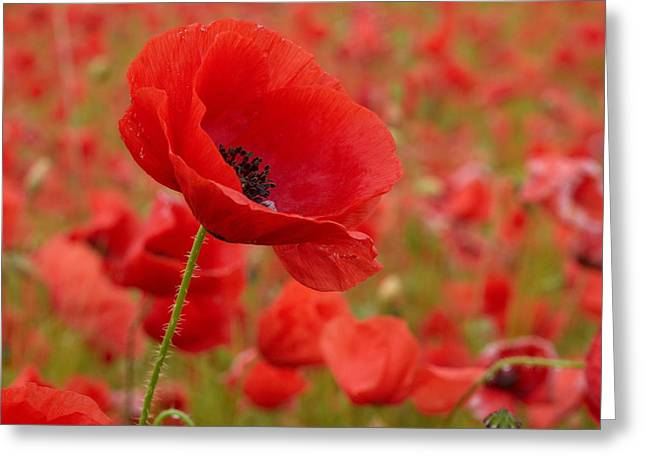 Red Poppies 3 Greeting Card