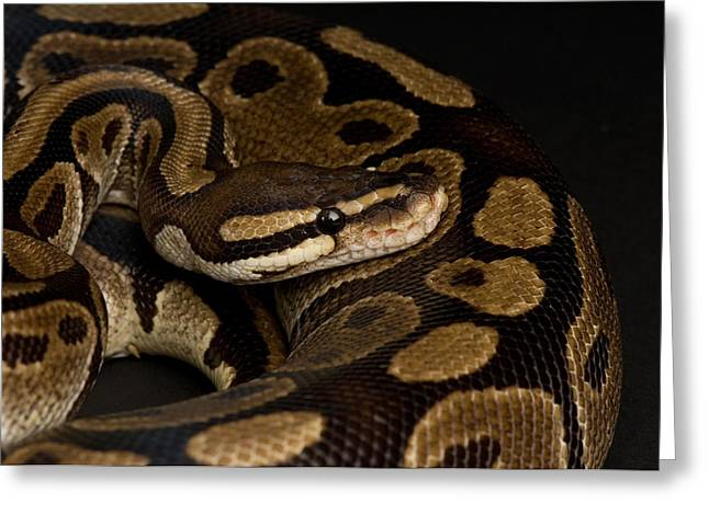 Sunset Zoo Greeting Cards - A Ball Python Python Regius Greeting Card by Joel Sartore