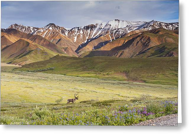 A Bull Caribou Approaching The Park Greeting Card by Michael Jones