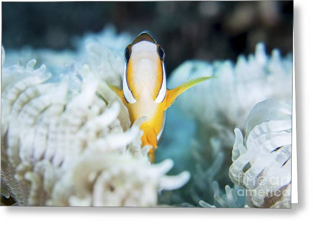 A Clarks Anemonefish Snuggles Amongst Greeting Card by Ethan Daniels