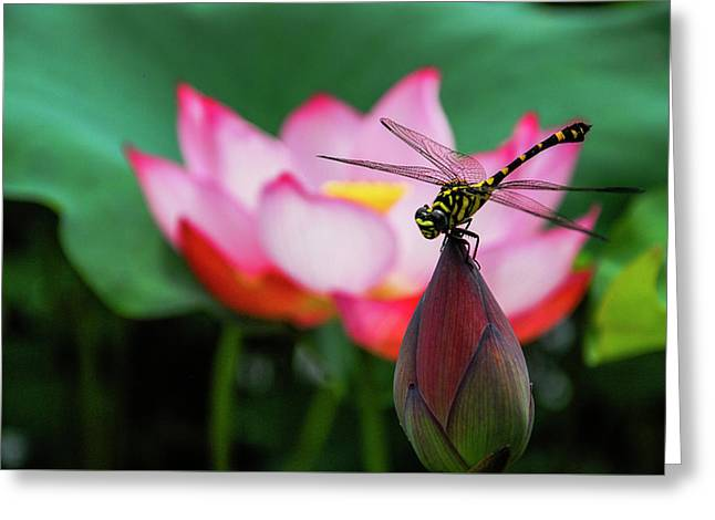 A Dragonfly On Lotus Flower Greeting Card
