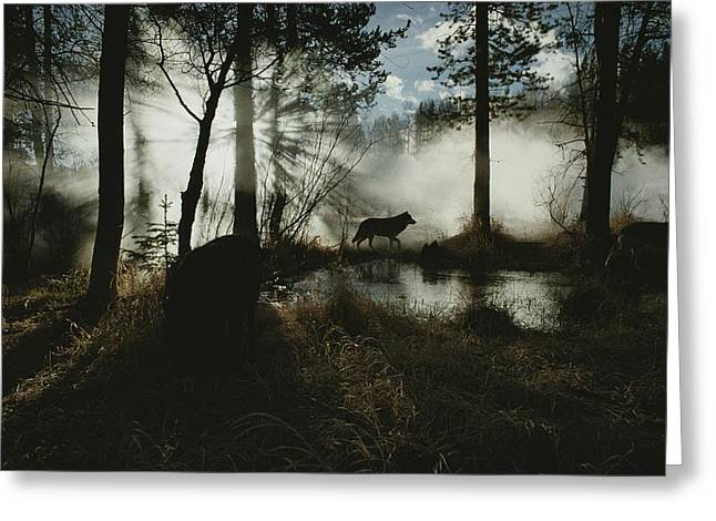 A Gray Wolf, Canis Lupus, In Silhouette Greeting Card by Jim And Jamie Dutcher