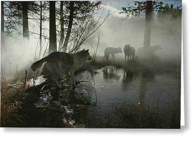 A Group Of Gray Wolves, Canis Lupus Greeting Card by Jim And Jamie Dutcher