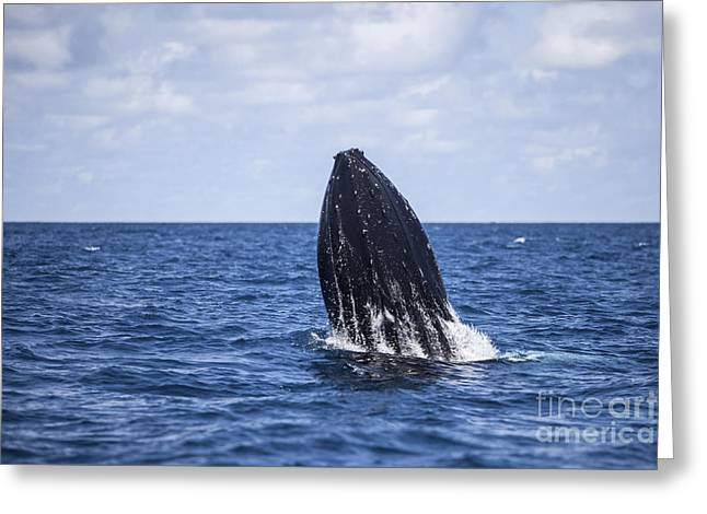 A Humpback Whale Begins To Breach Greeting Card by Ethan Daniels