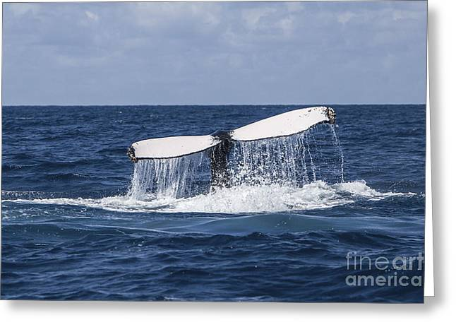 A Humpback Whale Raises Its Tail Greeting Card