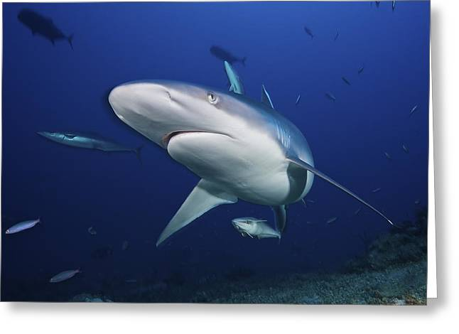 Head In The Water Greeting Cards - A Large Silvertip Shark, Fiji Greeting Card by Terry Moore
