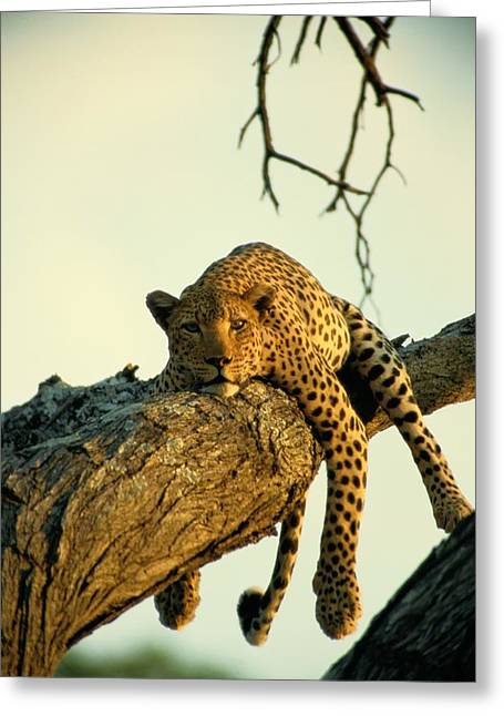 A Leopard Lounges In A Tree, Its Paws Greeting Card by Beverly Joubert