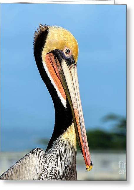 A Pelican Posing Greeting Card