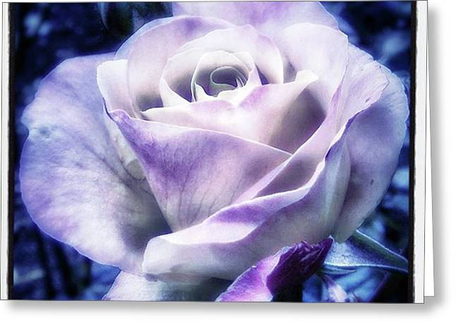 Greeting Card featuring the photograph A Rose Is A Rose Is A Rose, Variation by Mr Photojimsf