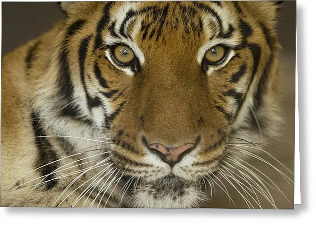 Property-released Photography Greeting Cards - A Siberian Tiger Panthera Tigris Greeting Card by Joel Sartore