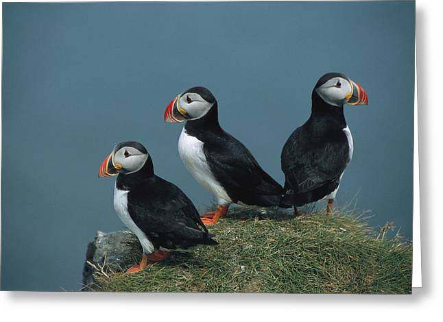Atlantic Puffin Greeting Cards - A Trio Of Atlantic Puffins Perch Greeting Card by Sisse Brimberg