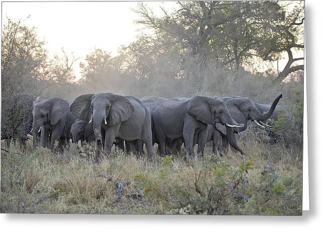 Defensive Greeting Cards - African Elephant Loxodonta Africana Greeting Card by Suzi Eszterhas