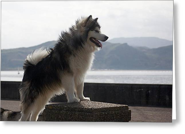 Alaskan Malamute.  Greeting Card by Christopher Rowlands