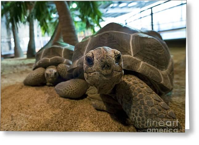 Aldabra Giant Tortoises Greeting Card by Alexis Rosenfeld