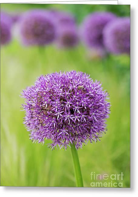 Allium Globemaster Greeting Card