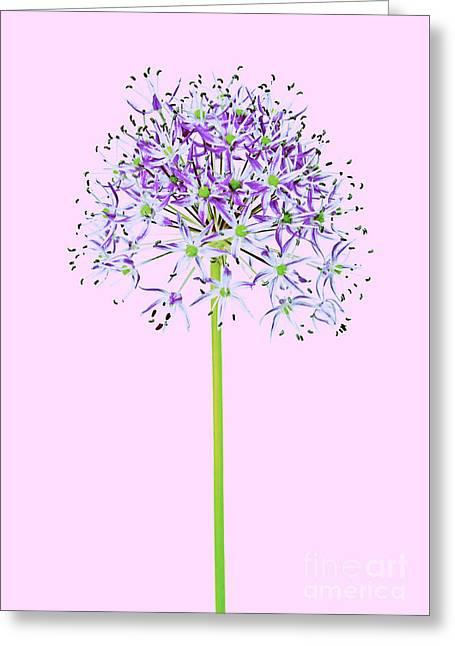 Allium Greeting Card by Tony Cordoza