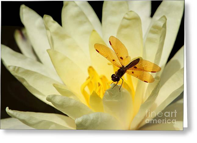 Amber Dragonfly Dancer 2 Greeting Card