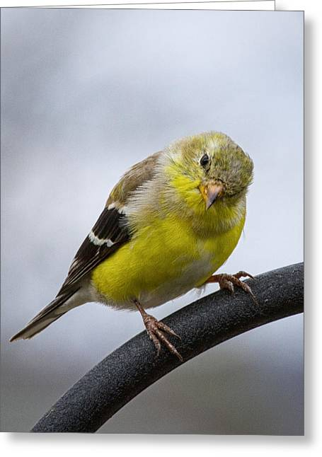 American Goldfinch Greeting Card by Brian Caldwell