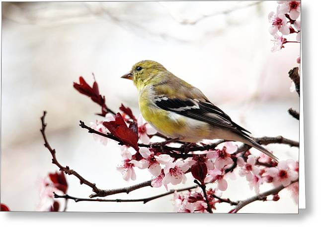 American Goldfinch In Spring Greeting Card
