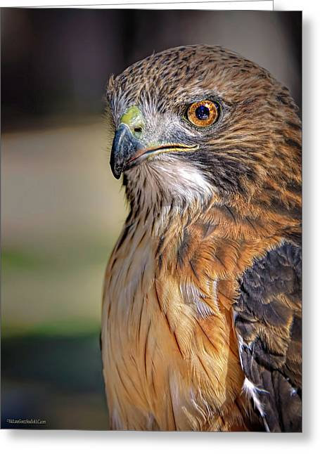 American Red Tail Hawk Greeting Card