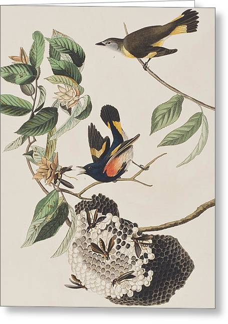 American Redstart  Greeting Card by John James Audubon