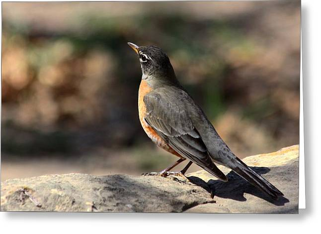 American Robin On Rock Greeting Card
