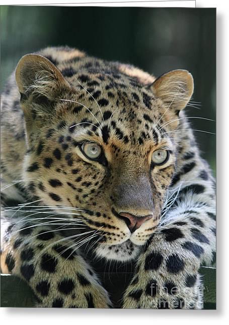 Amur Leopard #2 Greeting Card