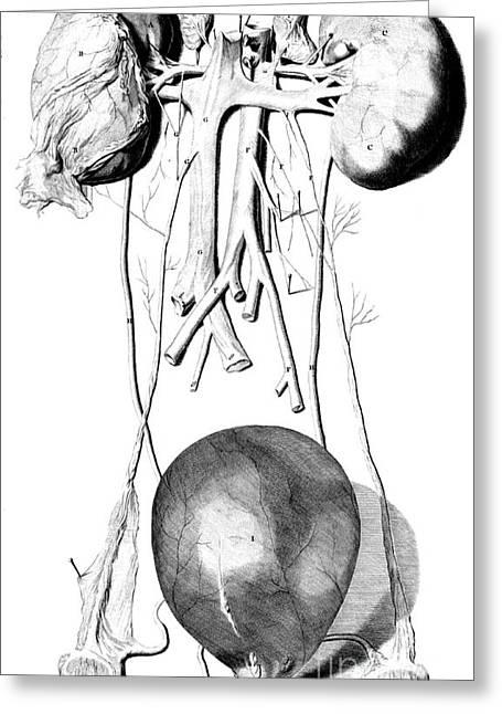 Anatomia Humani Corporis, Table 42, 1690 Greeting Card by Science Source