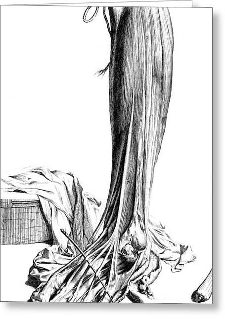 Anatomia Humani Corporis, Table 81, 1690 Greeting Card by Science Source