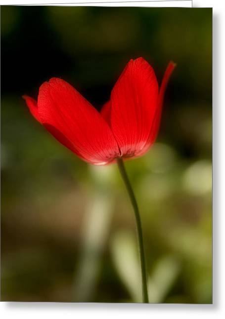 Anemone Greeting Card by Isaac Silman