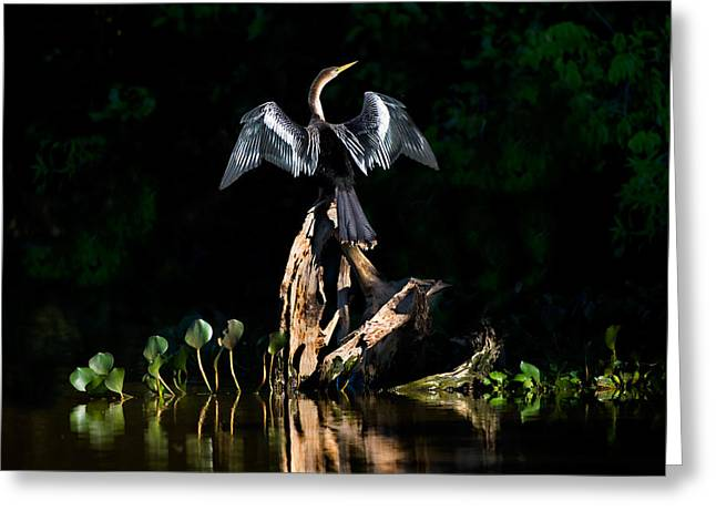 Anhinga Anhinga Anhinga, Pantanal Greeting Card by Panoramic Images