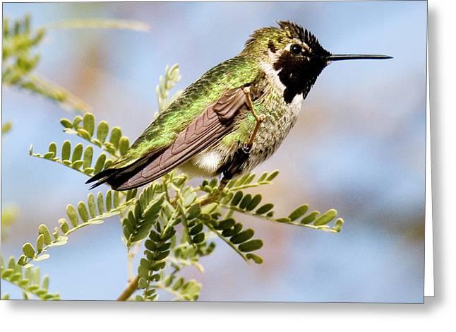 Anna's Hummingbird Greeting Card by Michael Barry