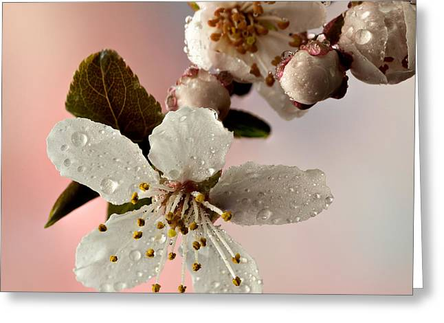 Announcing Spring Greeting Card by Mary Jo Allen