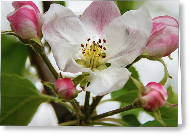 Apple Blossom Greeting Card by Robert Bales
