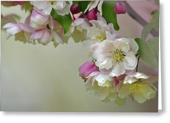 Greeting Card featuring the photograph Apple Blossoms  by Ann Bridges