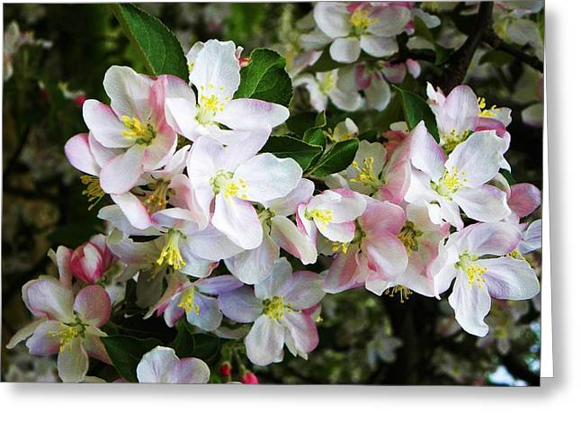 Apple Blossoms  Greeting Card by Cindy Gacha