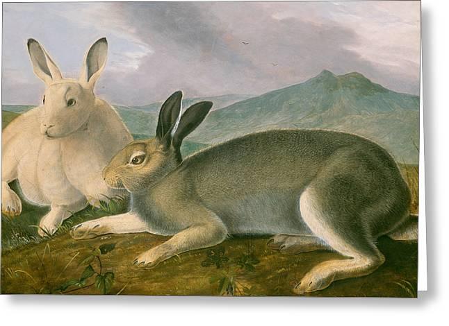 Arctic Hare Greeting Card by John James Audubon
