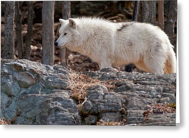Nature Photograph Greeting Cards - Arctic Wolf Greeting Card by Michael Cummings