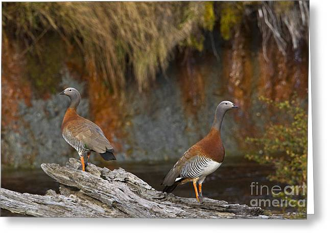 Ashy-headed Geese Greeting Card by Jean-Louis Klein & Marie-Luce Hubert