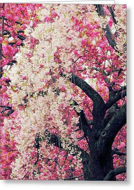 Asian Cherry Vignette Greeting Card by Jessica Jenney