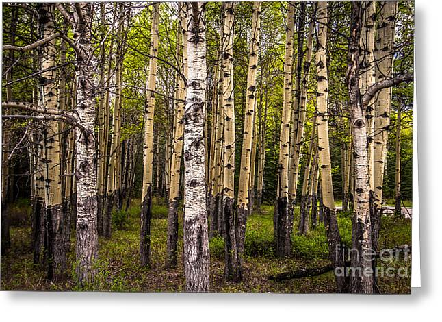 Aspen Trees Canadian Rockies Greeting Card