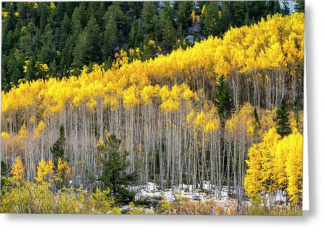Aspen Trees In Fall Color Greeting Card