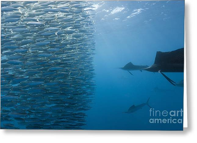 Atlantic Sailfish And Sardines Greeting Card by Reinhard Dirscherl