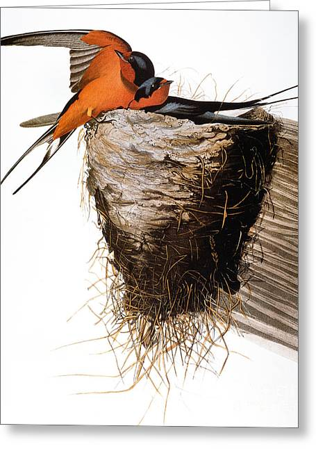 Audubon: Swallow Greeting Card by Granger