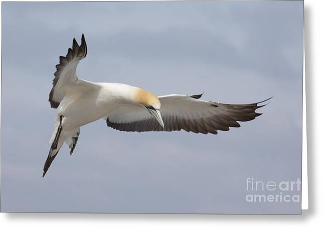 Australasian Gannet In Flight Greeting Card