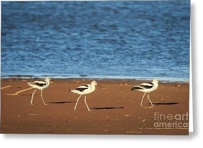 Avocet Abby Lane Greeting Card by Richard Smith