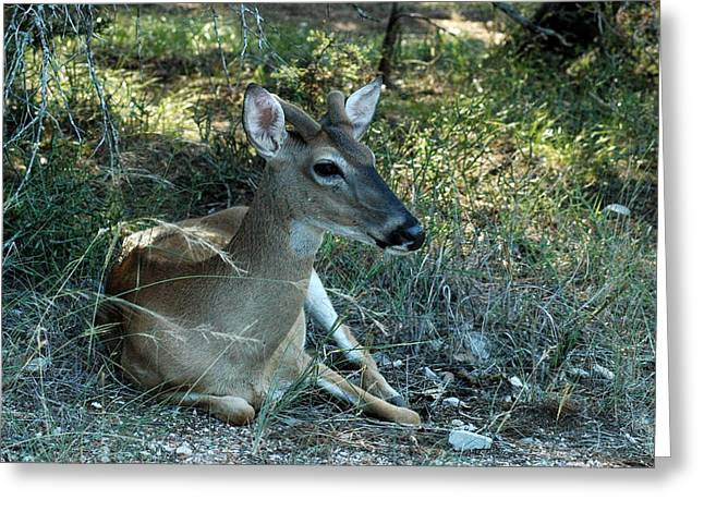 Baby Buck Greeting Card by Teresa Blanton
