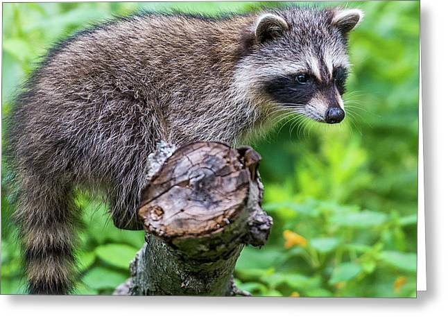 Greeting Card featuring the photograph Baby Racoon by Paul Freidlund